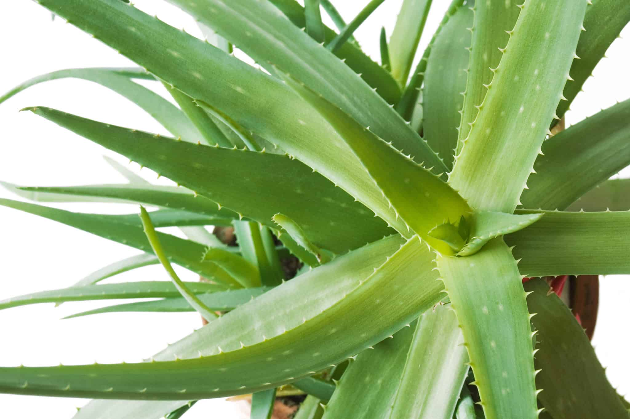 What is Aloe Vera?  Aloe Vera HQ.com